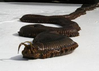 Гигантский  морской червь-убийца