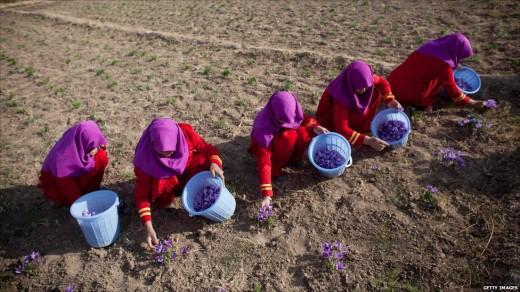 Сбор цветов шафрана в западной части Афганистана