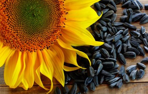 Как выбрать семена подсолнуха