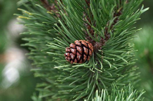 Живая новогодняя сосна – главный новогодний символ!