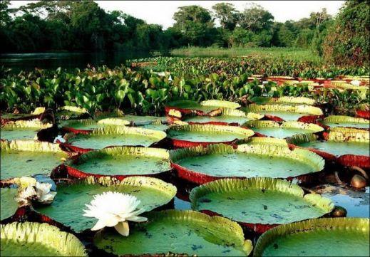 Самое большое цветковое растение на Земле