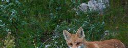 Уральская лиса стала символом города