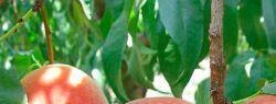 Выбор саженцев и посадка плодовых деревьев