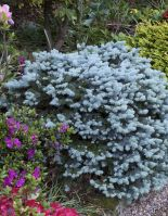 Где купить саженцы хвойных деревьев для своего загородного участка?