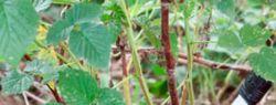 Уход за малиной весной после зимы: обрезка, обработка