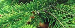 Хотите купить живую елку?
