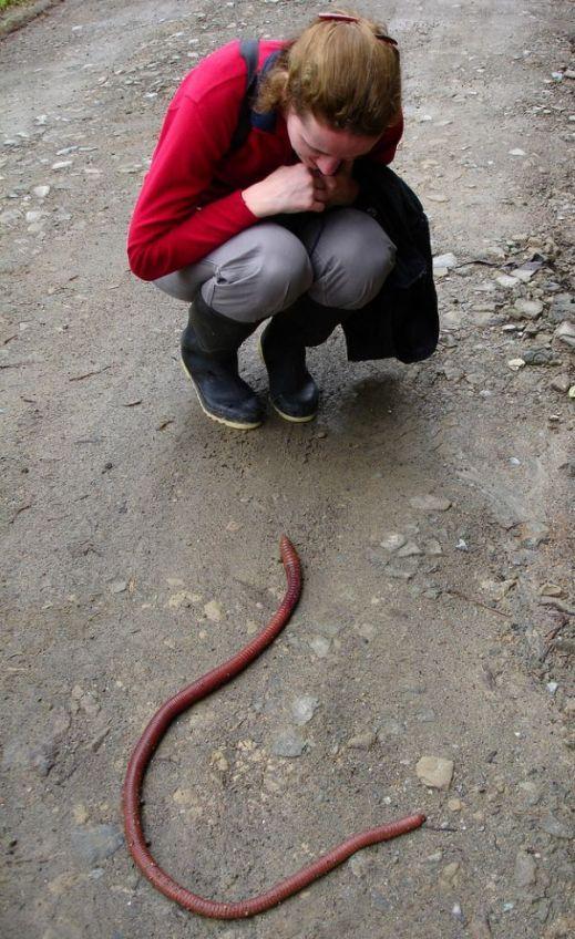 Эквадорский червь