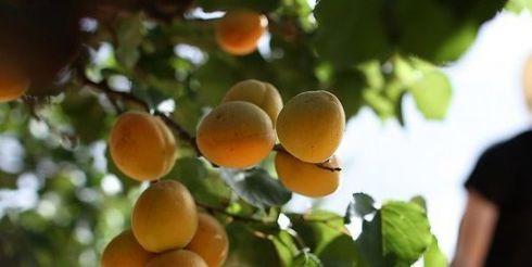 Выращивание саженцев абрикоса