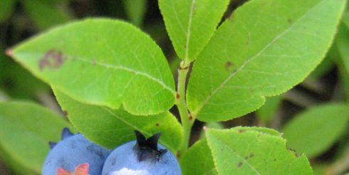 Вкусные и полезные черные ягоды