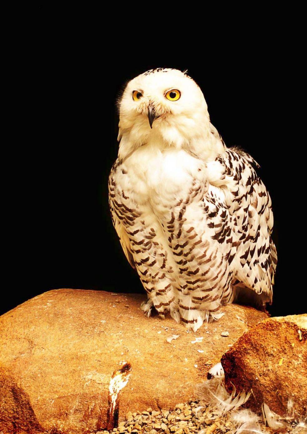 Коста-риканские совы-пигмеи