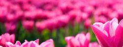 Тюльпаны — колыбель для фей
