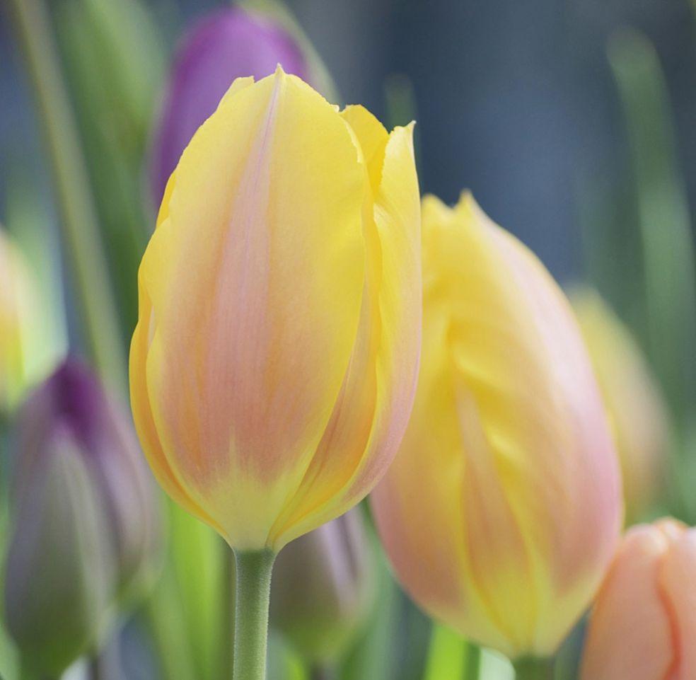 Тюльпаны родом с востока