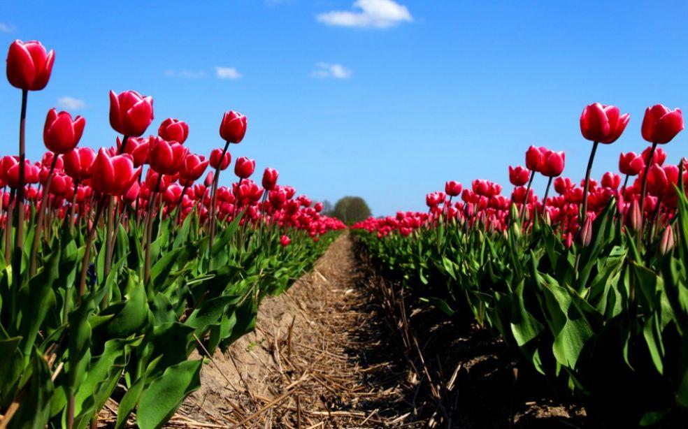 Тюльпаны - дорогой товар