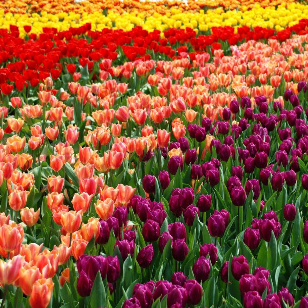 Закон о тюльпанах