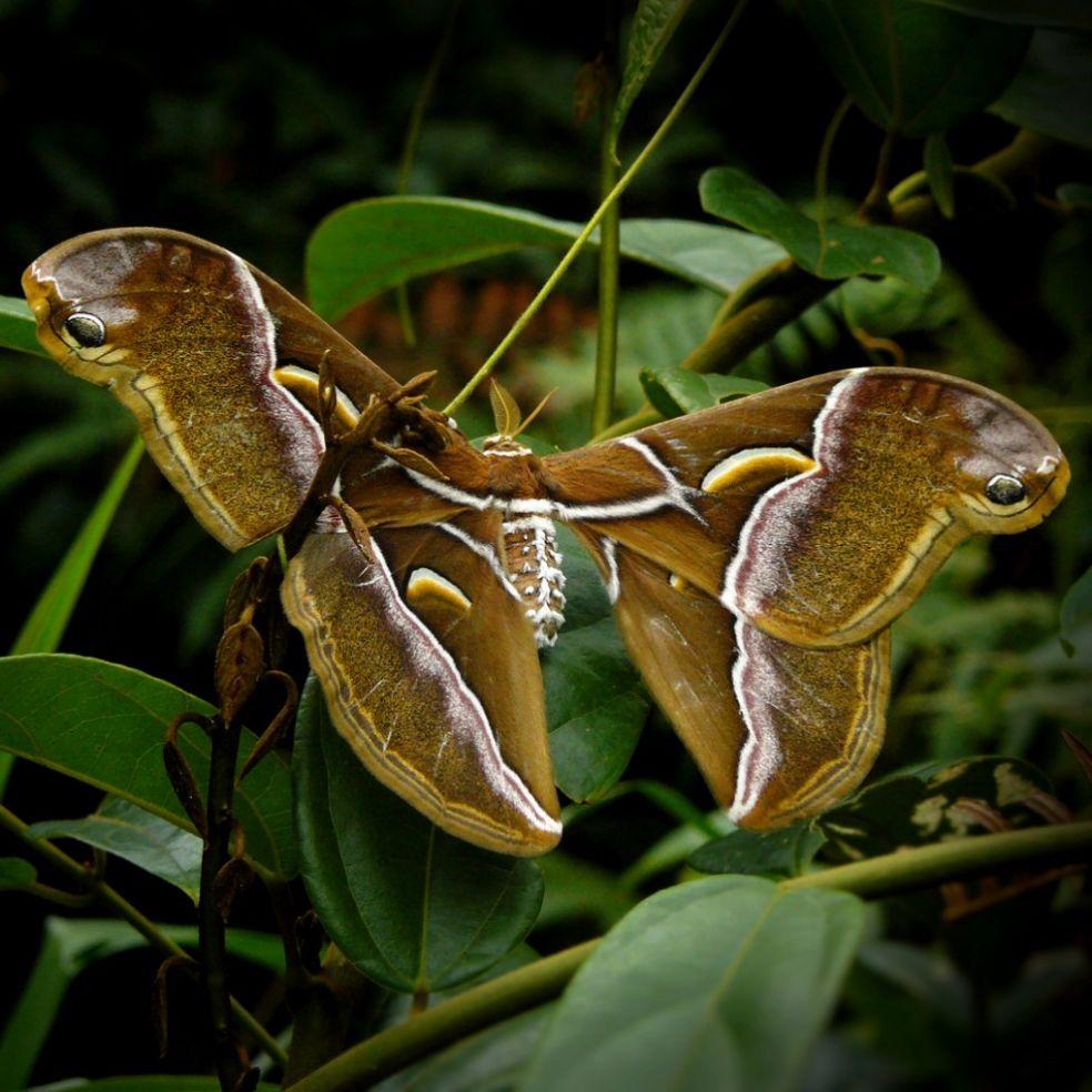 Atlas moth в Лаосе