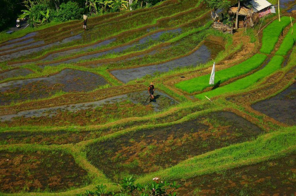 Рисовые поля, Бали