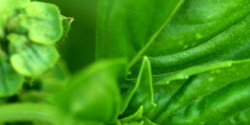Летние травы: базилик — для настроения, а розмарин — для сердца
