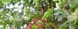 Доминикана приглашает на праздник органического кофе