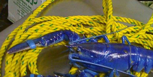Один на два миллиона лобстеров — синий