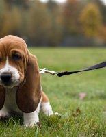 Особенности ухода за собакой бассет-хаунд